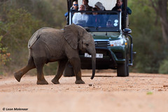 Juvenile elephant crossing road (leendert3) Tags: leonmolenaar southafrica krugernationalpark wilderness naturereserve nature naturalhabitat wildanimal wildlife mammal africanelephant