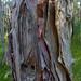 paperbark bark