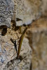 Mantis religiosa - Mante religieuse (Glc PHOTOs) Tags: glc1319 mantis religiosa mante religieuse nikon d850 tamron sp 90mm macro f28