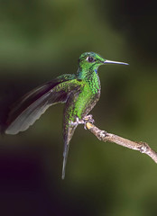Brillant fer-de-lance (a.jouffray) Tags: heliodoxajacula brillantferdelance greenfrontedcrownedbrilliant oiseaux trochilidaecolibris