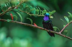 Colibri à gorge pourprée (a.jouffray) Tags: colibriàgorgepourprée lamporniscastaneoventris oiseaux mâle trochilidaecolibris