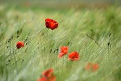 Coquelicot dans un champ d'orge (Excalibur67) Tags: nikon d750 sigma globalvision contemporary 100400f563dgoshsmc flowers fleurs coquelicot poppies pavots rouge red champ céréales