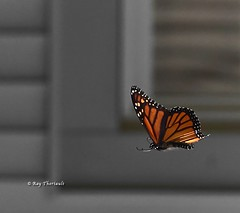 Monarch Butterfly (RayTheriault) Tags: 50 60 70 nikon nikond810 newhampshire nature butterfly 24120