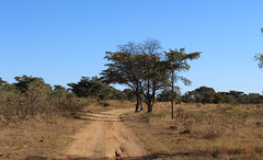 African Bush (Rckr88) Tags: waterberggameparklimpopo southafrica waterberg game park limpopo south africa waterberggamepark african bush africanbush road roads gravel gravelroad gravelroads trees tree naturalworld nature outdoors travel travelling