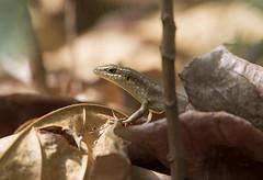Skink sp. (macronyx) Tags: saotomé reptile reptiles reptiler reptil ödla lizard skink africa nature wildlife