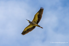 Heron overhead - Coomaditchy Lagoon Port Kembla (Peter.Stokes) Tags: australia australian colour landscape native nature outdoors photography summer vacations photo holiday heron flying flight