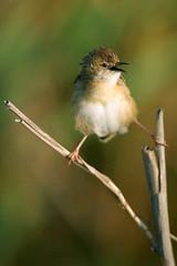 Cisticole des joncs (a.jouffray) Tags: oiseaux cisticoledesjoncs sylviidae cisticolajuncidis