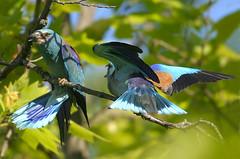 Rollier  d'Europe (a.jouffray) Tags: coraciidaerollier oiseaux rolliereurope coraciasgarrulus parade