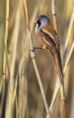 Panure à moustaches (a.jouffray) Tags: timaliidae panurusbiarnicus panureàmoustaches oiseaux