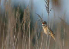 Rousserolle turdoïde (a.jouffray) Tags: concours oiseaux acrocephalusarundinaceus montiers 2019 sylviidae rousserolleturdoïde