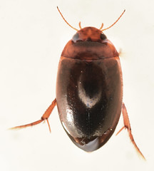 7.4 mm predacious diving beetle (ophis) Tags: coleoptera adephaga dytiscidae agabinae agabus predaciousdivingbeetle
