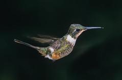 Colibri magenta (a.jouffray) Tags: calliphloxbryantae colibrimagenta oiseaux trochilidaecolibris