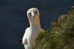 (Northern) Gannet (steve whiteley) Tags: bird birdphotography bempton gannet northerngannet morusbassanus seabird