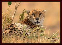 CHEETAH (Acinonyx jubatus).....MASAI MARA....SEPT, 2018. (M Z Malik) Tags: nikon d800e 400mmf28gedvr kenya africa safari wildlife masaimara keekoroklodge exoticafricanwildlife exoticafricancats flickrbigcats cheetah acinonyxjubatus ngc npc