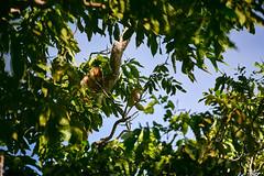 waigeo cuscus (arcibald) Tags: waigeo waisai papua rajaampat cuscus indonesia spotted