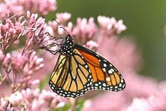 Monarque / Monarch (alainmaire71) Tags: papillon butterfly danaidae danausplexippus monarque monarch nature quebec canada bokeh