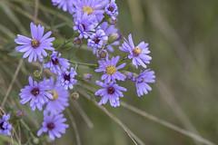 Smooth aster (octothorpe enthusiast) Tags: saskatoon saskatchewan chappellmarshconservationarea smoothaster wildflower prairie