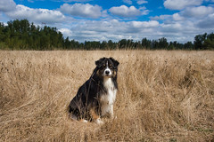 American Pastoral (jayvan) Tags: dash dog aussie australianshepherd field trees sky clouds pastoral troutdale oregon twtme