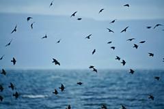 Furbogh (Mark Waldron) Tags: furbo galway connemara ireland birds mto 500mm mirrortele soviet lens m39 sony a7iii