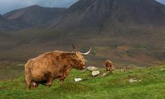 Dans les Highlands Écossais (Joseph Trojani) Tags: vache cow bovin highland ecosse scotland royaumeuni unitedkingdom skye ïledeskye skyeisland isleofskye montagne mountain campagne campaign liberté liberty nikon d750