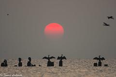 Sunrise in Gdynia Babie Doły, Poland (tomaszberlin) Tags: ngc sunrise baltic gulfofgdansk cormorants birds sea landscape nikon d500 poland polska babiedoły gdynia bird nature wings sun red