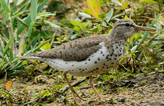 DSC2393  Spotted Sandpiper.. (Jeff Lack Wildlife&Nature) Tags: spottedsandpiper sandpiper sandpipers vagrant avian animal animals wildlife wildbirds wetlands waterbirds waterways waders wildlifephotography jefflackphotography lakes ponds shorebirds scrapes estuaries estuary reservoirs naturephotography nature coth coth5