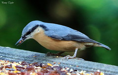 nuthatch (alpenfrankie) Tags: canon eos 750d animals bird wildlife nature sherwood sherwoodforest forest feeding nuthatch