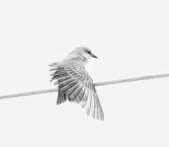 Gray Kingbird (Franklin Chalk) Tags: bird birds flycatcher wildlife nature bw graykingbird blackandwhite kingbird