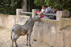 sBs_1907(vac1)_2859-2 (schoolartBYschoolboy) Tags: charentemaritime zoo animal horse zebra contrast yinyang lines line family