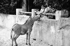 sBs_1907(vac1)_2859-2 copy (schoolartBYschoolboy) Tags: charentemaritime zoo animal horse zebra contrast yinyang lines line family