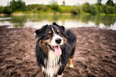 Happy Boy (jayvan) Tags: twtme dash dog aussie australianshepherd happy river wet troutdale oregon columbiariver sandyriverdelta