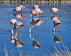 James Flamingos - Laguna Hedionda - Bolivia (W_von_S) Tags: bolivia natur nature animals tiere birds vogel wildlife laguna lagune salzsee salt salz water reflections reflexionen reflexion spiegelung mirrow rot red rosa pink colorful wvons werner sony sonyilce7rm2 outdoor jamesflamingos altiplano lagunahedionda