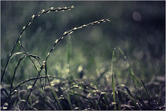 (( (Ulla M.) Tags: grashalme gras grass tau dof bokeh analogphotography analogue analog filmphotography filmshooter film filmisnotdead m42 pentacon135mmf28 tetenalcolortec reflectaproscan10t umphotoart