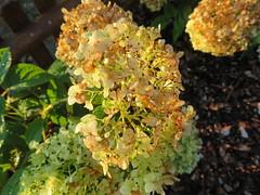 Blüten im Abendlicht (Bea tedo) Tags: blume flower blüte pflanze hortensie schneeballhortensie natur garten weis white
