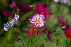 Schmuckkörbchen (bohnengarten) Tags: schweiz swiss switzerland eos 80d thurgau flower blume blüte cosmea schmuckkörbchen cosmos bipinnatus