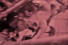 DSC_3423 (Thomas Cogley) Tags: hemsley conservation centre kent uk england zoo animals animal thomas cogley thomascogley slow loris