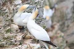 Bempton Cliffs (SR Photos Torksey) Tags: bempton cliffs nature natural world wildlife bird seabird gannet