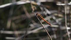 Common Darter (Nick:Wood) Tags: commondarter sympetrumstriolatum haywood warwickshire dragonfly insect