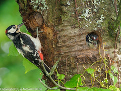 Great Spotted Woodpeckers (xrxss15) Tags: animalia animals aves badenwürttemberg birds buntspecht dendrocoposmajor europe germany greatspottedwoodpecker jungtier nesthole nesthöhle picidae stuttgart tiere vaihingen vögel woodpeckers immature juvenile male männlich
