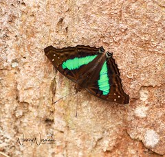 Turquoise Emperor (N2NATURE PHOTOGRAPHY) Tags: turquoise emperor butterfly podocarpus np ecuador