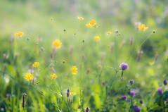 (kuuan) Tags: manualfocus mf minolta rokkor mrokkorf490mm mrokkor f4 90mm leica f490mm 490 mostviertel austria baum meadow flowers colorful ricohgxr mmodule blumen wiese
