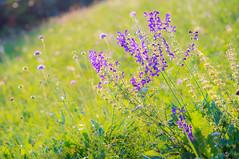 (kuuan) Tags: manualfocus mf minolta rokkor mrokkorf490mm mrokkor f4 90mm leica f490mm 490 mostviertel austria baum meadow flowers colorful ricohgxr mmodule