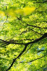 (kuuan) Tags: manualfocus mf minolta rokkor mrokkorf490mm mrokkor f4 90mm leica f490mm 490 mostviertel austria baum tree colorful foilage branches ricohgxr mmodule