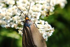Little blue and brown bug (Keizerphoto) Tags: macro insect moth virginia ctenucha flowers nature lookingcloseonfriday combinationoffloraandfauna