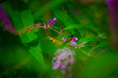 Dreaming In The Garden (Brian Travelling) Tags: flower butterfly garden scotland bush pentax buddleia dream dreaming pentaxk20d pentaxdal pentaxkr trees green colours lilac colourful