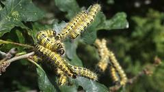 Buff-tip caterpillars (Nick:Wood) Tags: bufftip phalerabucephala larvae caterpillar malvernbruetonparklnr solihull moth insect