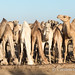 Kalacha camels