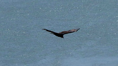 Water Vulture (blazer8696) Tags: aura bird buzzard caeaur cathartes cathartesaura cathartidae cathartiformes img418 scavenger turkey turkeyvulture tuvu vulture bearmountain newyork unitedstates 2019 ecw fortclinton ny t2019 usa