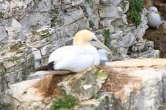IMG_9303_ed (SR Photos Torksey) Tags: bempton cliffs nature natural world wildlife bird seabird gannet