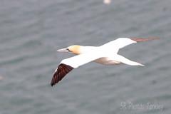 IMG_9284_ed (SR Photos Torksey) Tags: bempton cliffs nature natural world wildlife bird seabird gannet